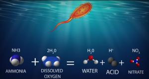 Formula for Nitrifying bacteria